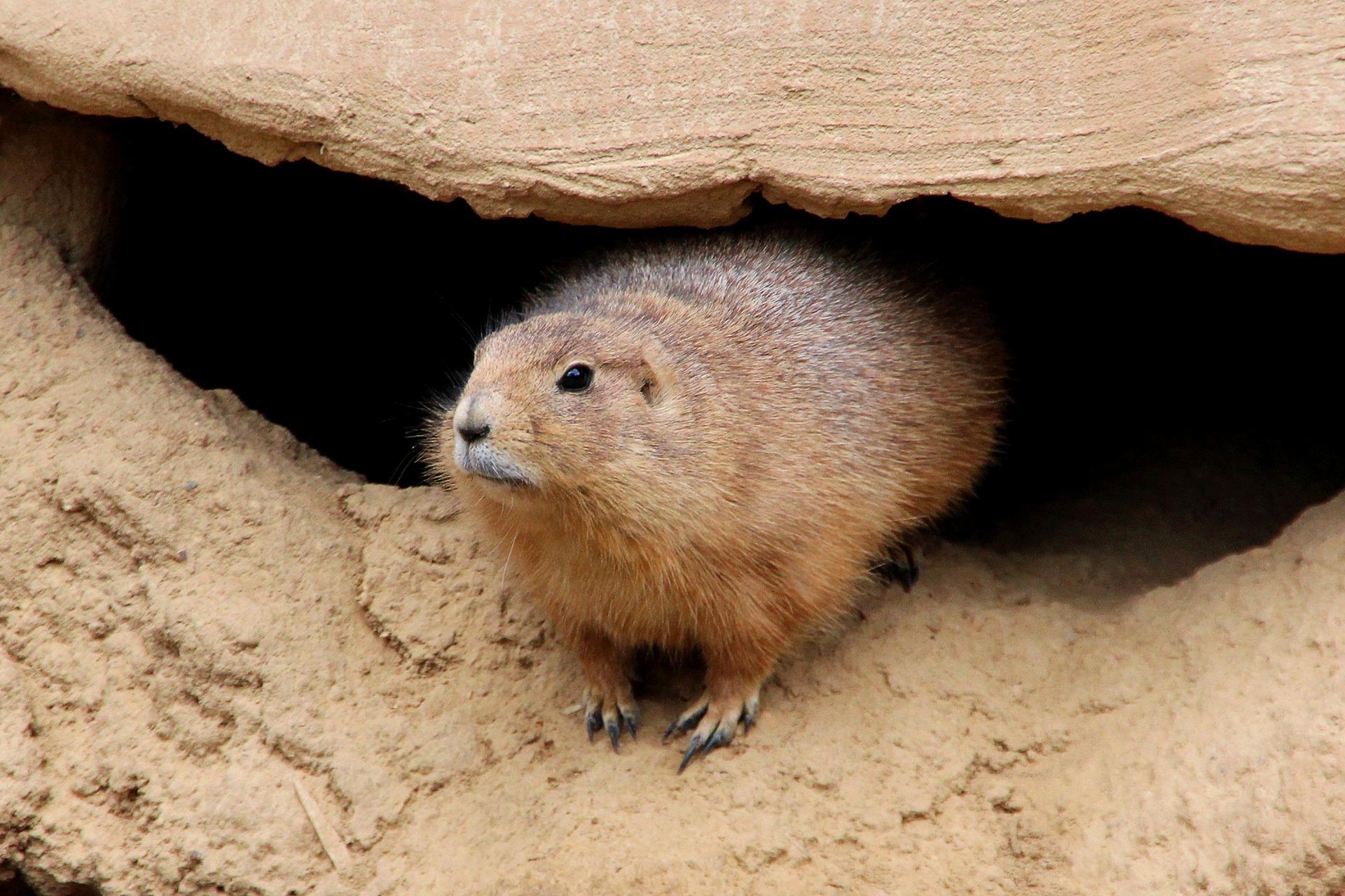 Groundhog leaving burrow.